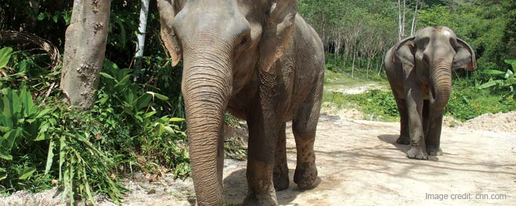 Elephant Care in Phuket